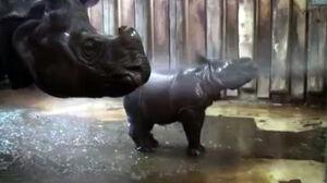 Nosorożec Byś w kąpieli