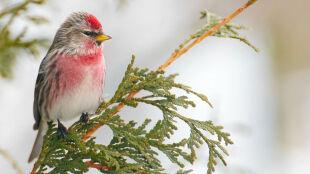 Malaria dotarła na Alaskę. Chorują ptaki