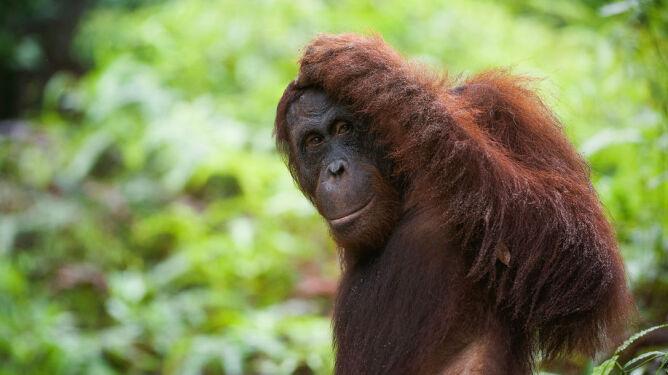 Kryzys wieku średniego dopada również małpy
